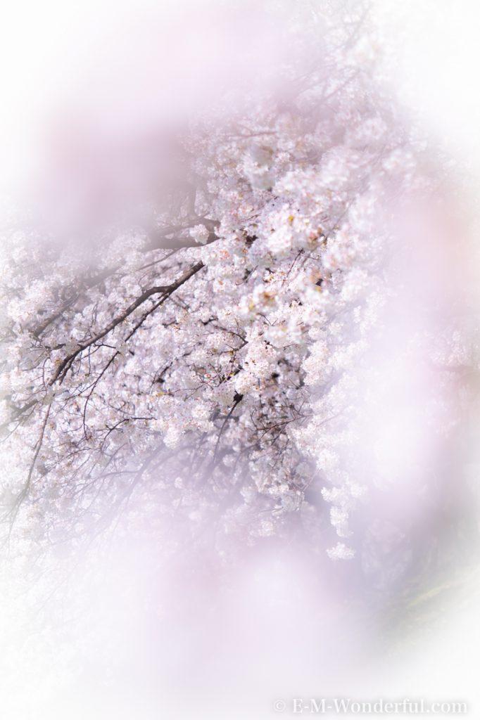 20180330 P3300403 682x1024 - 初心者でも簡単、デジイチで桜(さくら)を綺麗に撮る方法