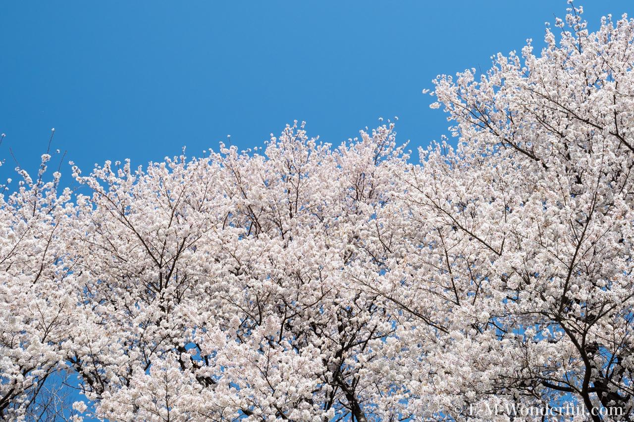 20180330 P3300640 2 - 初心者でも簡単、デジイチで桜(さくら)を綺麗に撮る方法