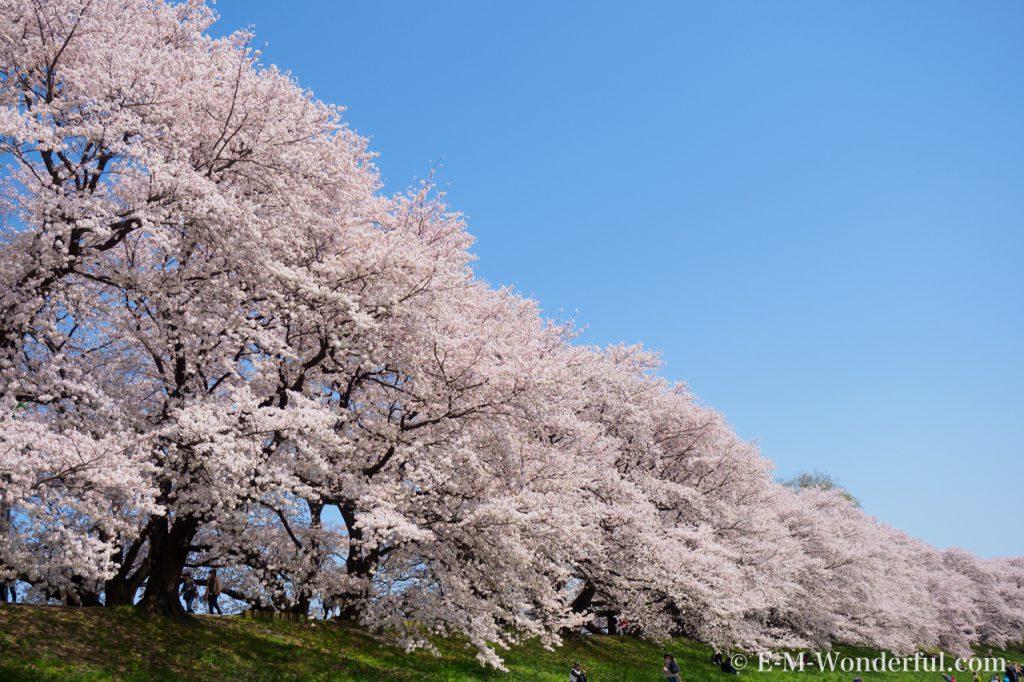 20180330 P3300766 2 1024x682 - 初心者でも簡単、デジイチで桜(さくら)を綺麗に撮る方法