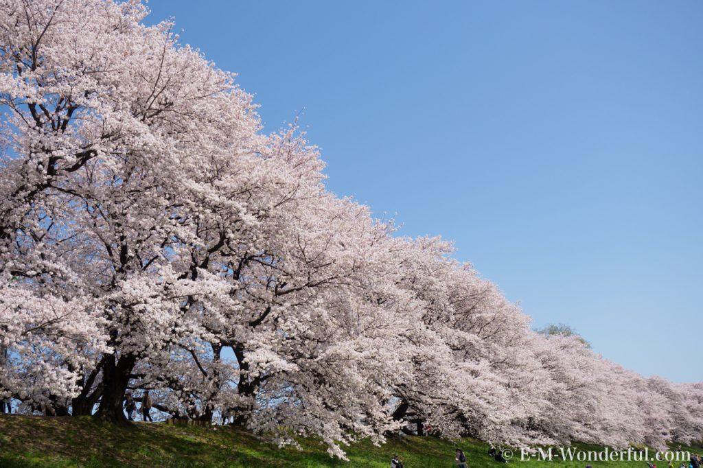 20180330 P3300766 3 1024x682 - 初心者でも簡単、デジイチで桜(さくら)を綺麗に撮る方法