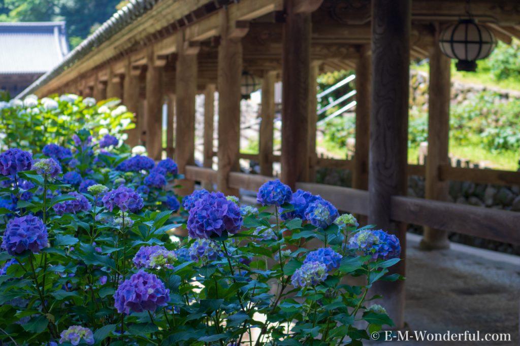 20180617 P6170260 1024x682 - 奈良の長谷寺で紫陽花を撮影してきました