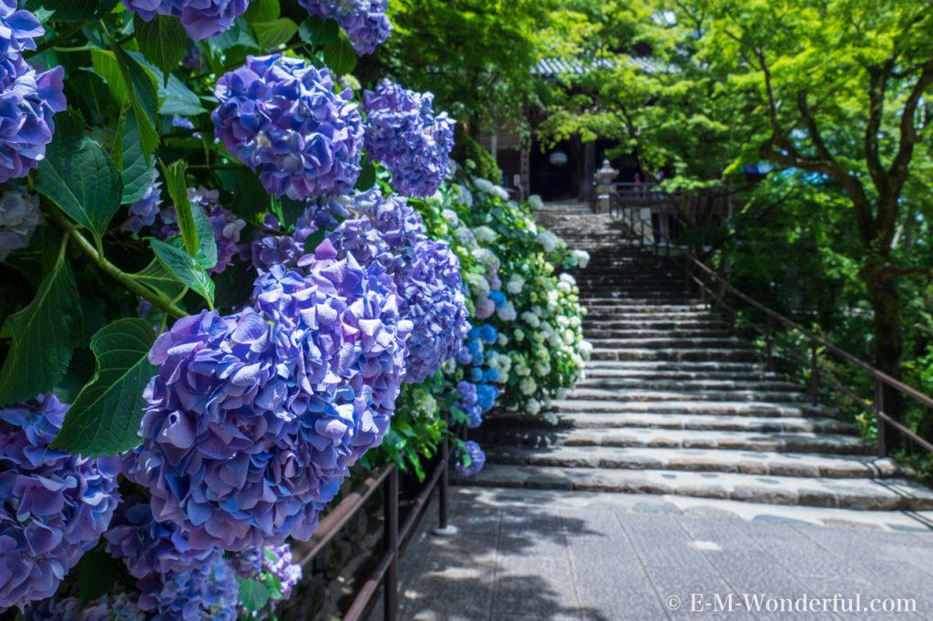 20180617 P6170740 1024x682 - 奈良の長谷寺で紫陽花を撮影してきました