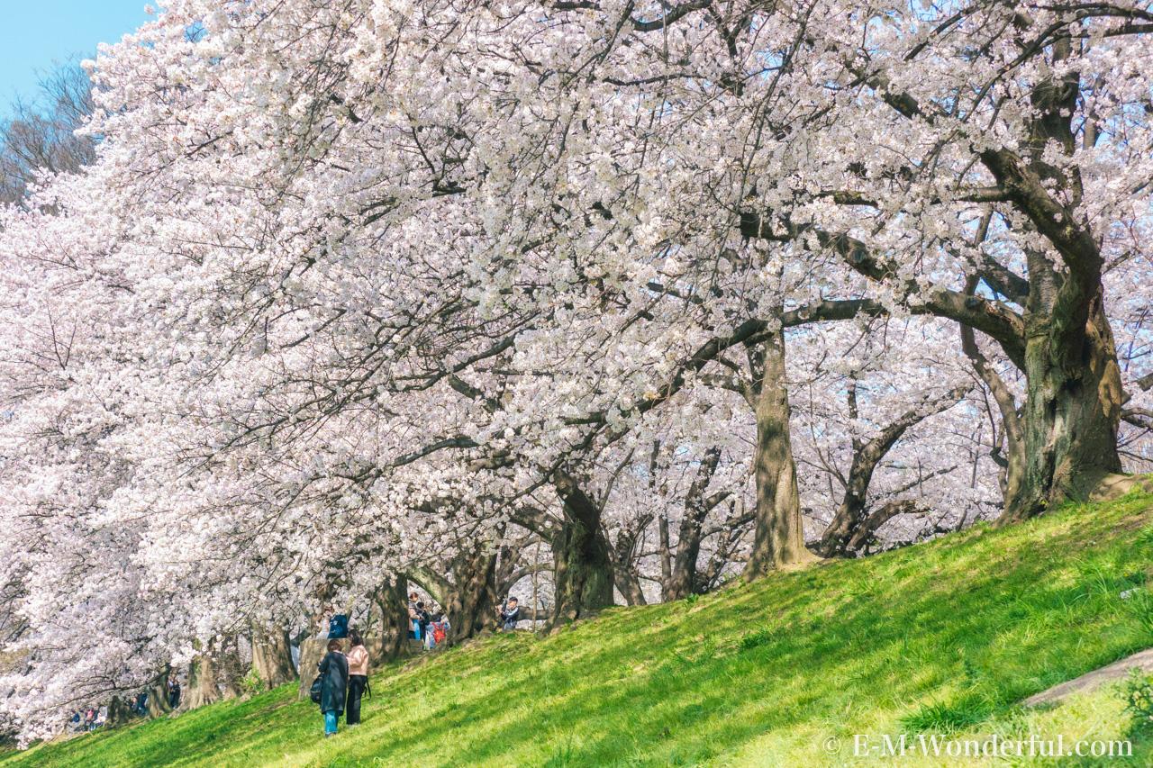 20180330 P3300325 Edit - 桜の花を簡単に華やかに、Luminarの桜の花のLOOKSが公開されました