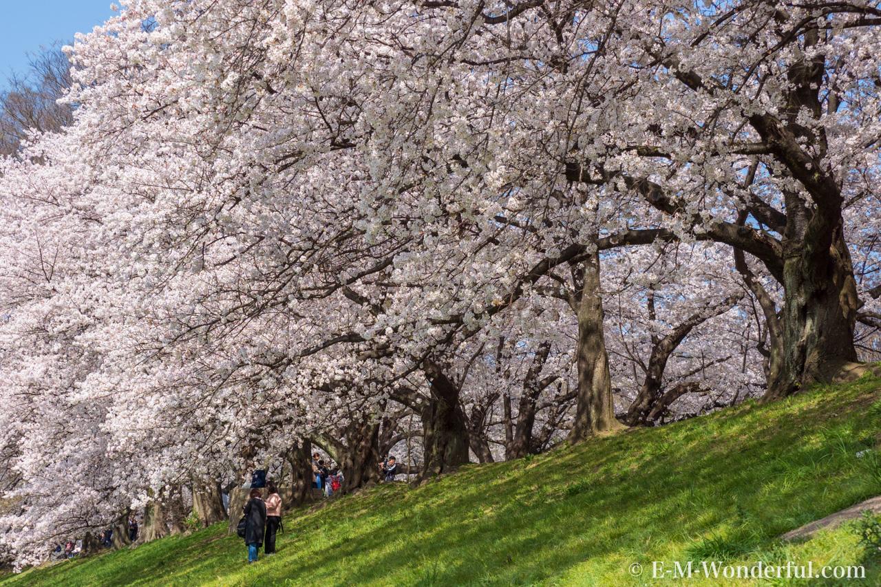 20180330 P3300325 - 桜の花を簡単に華やかに、Luminarの桜の花のLOOKSレビュー