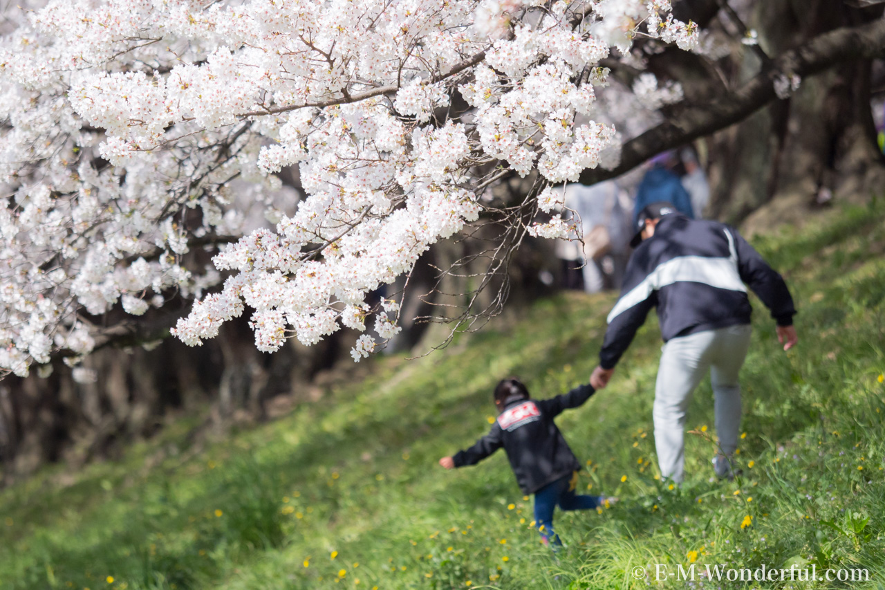 20180330 P3300384 - 桜の花を簡単に華やかに、Luminarの桜の花のLOOKSレビュー
